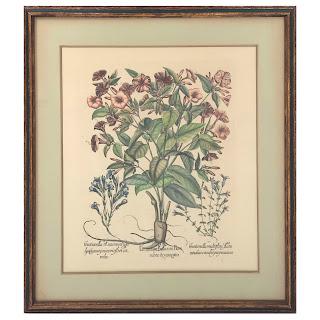 Basilius Besler Jasmine Botanical Etching
